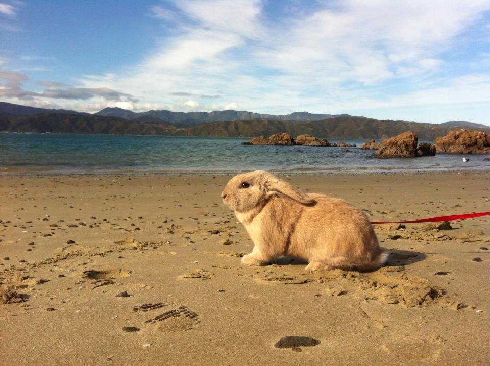 Rabbit-at-Beach
