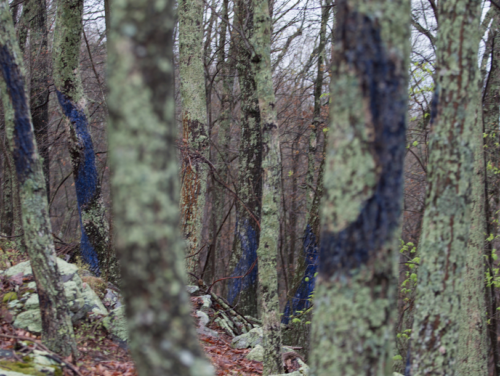 "Photographic documentation of trees painted with a casein of buttermilk and ultramarine blue pigment to grow moss. Detail shot from a grouping of 160 trees painted over a 1/3 mile ""measure"" of a conceptually based symphonic event which extended over 18 months, at 12 sites, across several miles, primarily in the United States. This location is Brush Mountain, Virginia, location of proposed New Market pipeline. Photo: Sarah Miller, 2016"