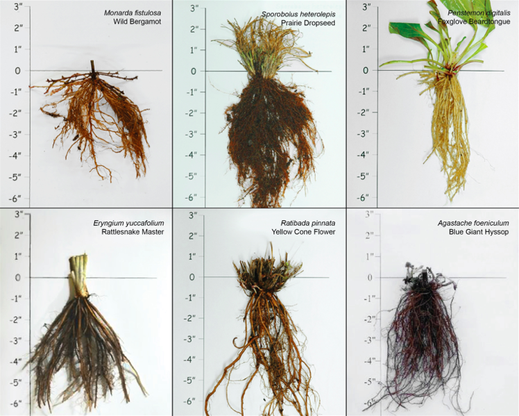 Root masses of native prairie forbs under investigation for petroleum remediation in the Slow Cleanup plant trials. Image: Prairie Moon Nursery
