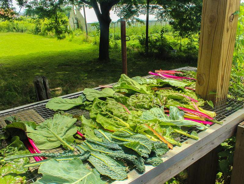 Chard, collards and kale harvested, washed and bathing in the sun. Photo: Gabrielle Clark.