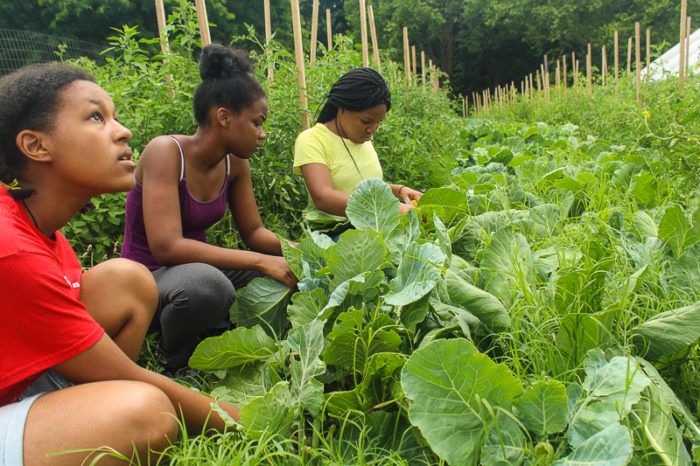 Harvesting greens for lunch on Sankofa Community Farm for Our Mothers' Kitchens Camp, 2017. Photo: Gabrielle Clark.